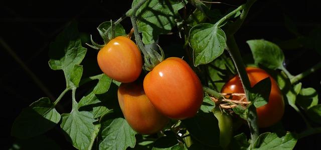 keříky rajčat